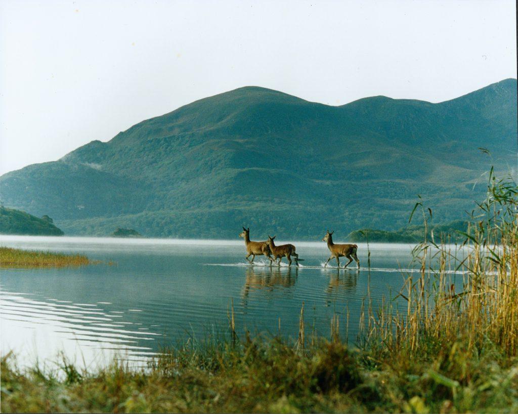 deer in water killarney