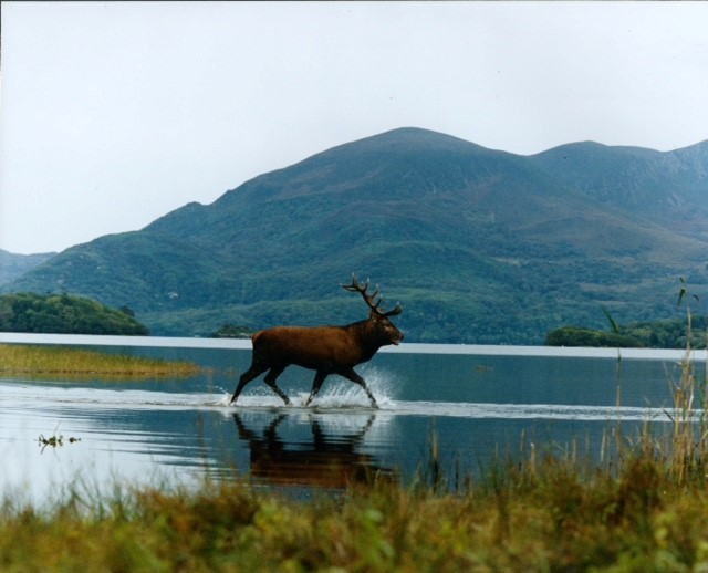Stag on Lakes of Killarney