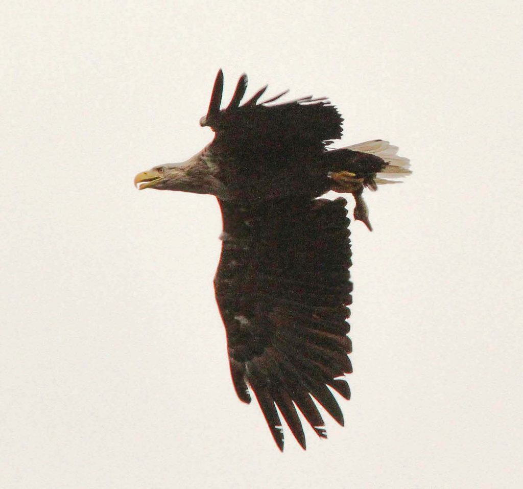 Eagle Spotting Killarney
